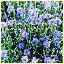 Bachelor Buttons Dwarf Bachelor Buttons Cornflower Centaurea Cyanus From