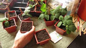 how and when to seed start cucumbers indoors warm weather the