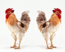 cuisiner un coq coq comment choisir et cuire sa volaille de fête