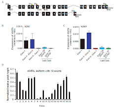 ijms free full text multiple isoforms of anril in melanoma