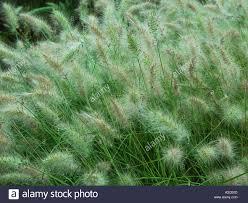pennisetum vilosum ornamental grass in garden herbaceous perennial