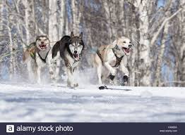 kamchatka peninsula russia runs dog sled alaskan husky musher
