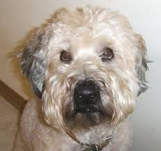 wheaten haircuts 18 best wheaten terrier images on pinterest terrier terriers and