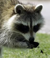 legal ways to kill skunks squirrels raccoons woodchucks other