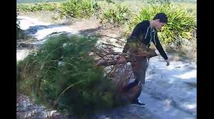 Cutting Christmas Tree - cut your own holiday christmas tree in ocala national forest