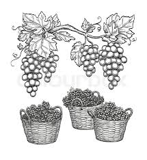 grape branches and grapes in baskets vine sketch isolated on