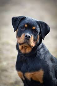 gta 5 boxer dog the 1221 best images about rottweilers on pinterest beautiful