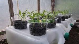 cara membuat cairan hidroponik 7 langkah mudah cara menanam kangkung hidroponik tanpa ab mix