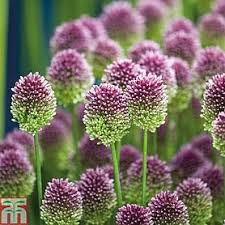 allium flowers allium bulbs thompson