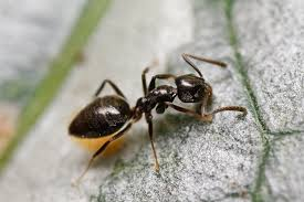 odorous house ants basic information u0026 how to get rid of them