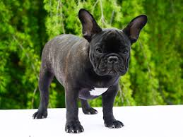 belgian sheepdog for adoption french bulldog puppies for sale euro puppy