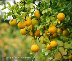 flying trifoliate orange edible landscaping