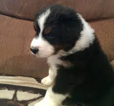 australian shepherd in california view ad australian shepherd puppy for sale california