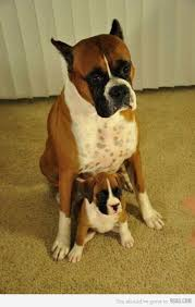 3 legged boxer dog 289 best boxer dogs images on pinterest boxer love boxers and