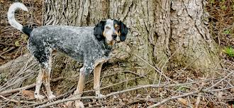 bluetick coonhound basset hound mix farewell to clementine u2013 this side of glory