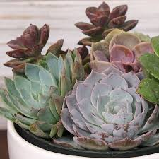 succulent garden gift for sale at jackson and perkins
