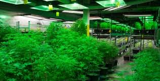 agricultural journalism jobs ukiah cannabis locals must not neglect small businesses capitol weekly