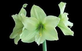 flower bulbs for year round pleasure telegraph
