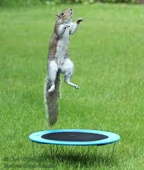 squirrels jumping on trampoline backyard squirrels com
