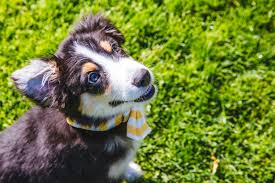 d b australian shepherds ruffined spotlight tucker the mini aussie pup seattle refined