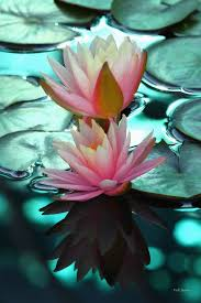 Blue Lotus Flower Meaning - best 25 lotus flower pictures ideas on pinterest sea life