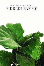 how to care for a fiddle leaf fig tree the sweetest occasion