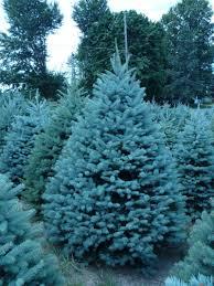 blue spruce colorado blue spruce trees
