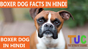 boxer dog price boxer dog facts in hindi dog facts popular dogs the ultimate