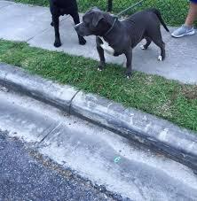 107 pitbulls u0027 bella blue pitpedia