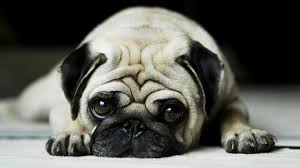Cute Dogs Wallpapers by Cute Pug Wallpapers Wallpapersafari