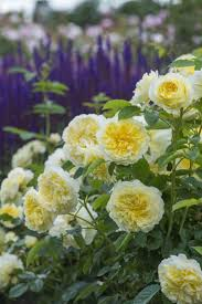 16 best climbers and ramblers images on pinterest david austin