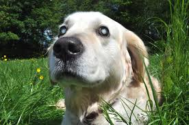 What Causes Dogs To Go Blind Nerve Swelling In Dogs Symptoms Causes Diagnosis Treatment
