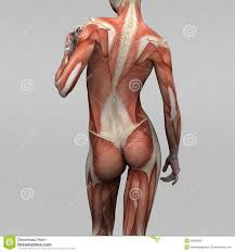 Human Anatomy Muscle 148 Best Anatomy Images On Pinterest Anatomy Reference Drawing