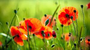 poppy flowers 6991306