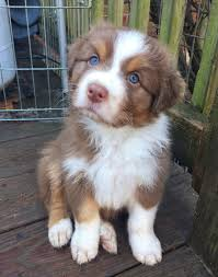 images of australian shepherd 5 pictures of beautiful australian shepherd puppy justviral net