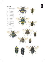 bumblebees naturalists u0027 handbooks prys jones corbet