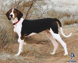 bluetick coonhound temperament treeing walker coonhound complete breed information and photos