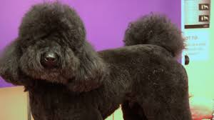 pictures of poodle haircuts miniature poodle teddy trim grooming guide pro groomer youtube