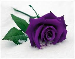 purple roses color meaning evys flower shop free delivery