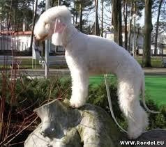 bedlington terrier guide бедлингтон терьер bedlington terrier bedlington terrier history