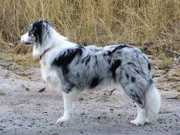 australian shepherd jump height border collie wikipedia