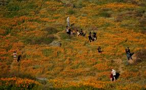 photos super bloom at anza borrego la times