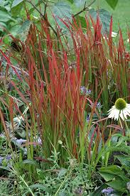 baron japanese blood grass imperata cylindrica baron