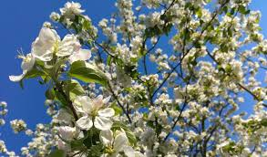 best flowering trees to plant in northeast ohio independent
