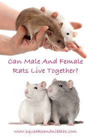 can male and female rats live together in the same cage