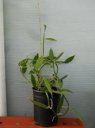 best 25 vanilla orchid ideas on pinterest vanilla plant grow