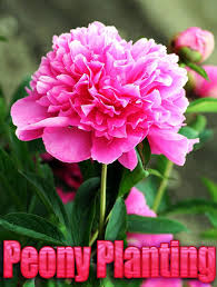 Peony Flowers by Best 20 Peony Plant Ideas On Pinterest Peony Care How To Grow