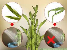 Indoor Flower Plants Best 25 Growing Bamboo Indoors Ideas On Pinterest Indoor