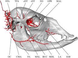Floor Of The Cranium Cranial Arteries Of The Alpaca Open Science