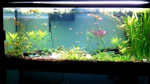 new clown loaches for 55 gallon snail patrol freshwater fish